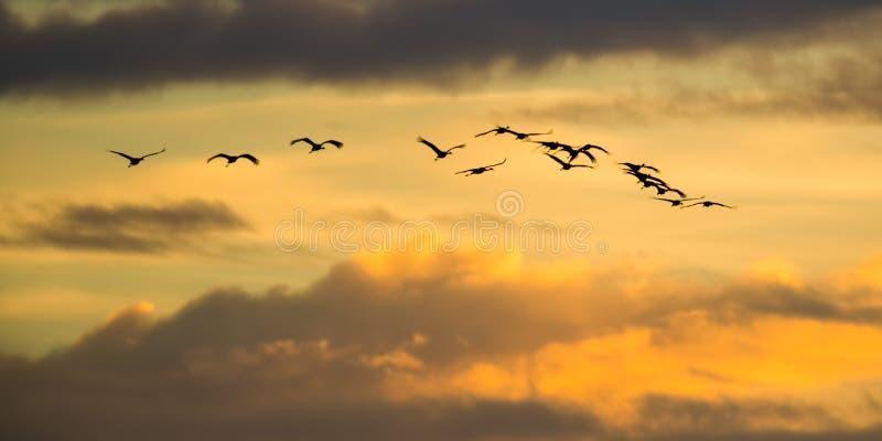 Backlit silhouet van Sandhillkranen het tijdens de vlucht met gouden gele en oranje hemel bij schemer/zonsondergang tijdens dalin stock foto