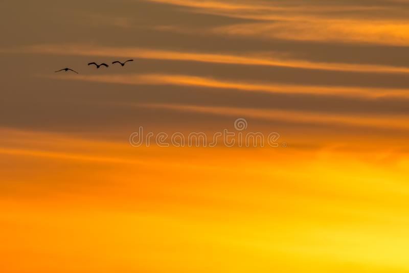 Backlit silhouet van Sandhillkranen het tijdens de vlucht met gouden gele en oranje hemel bij schemer/zonsondergang tijdens dalin stock foto's