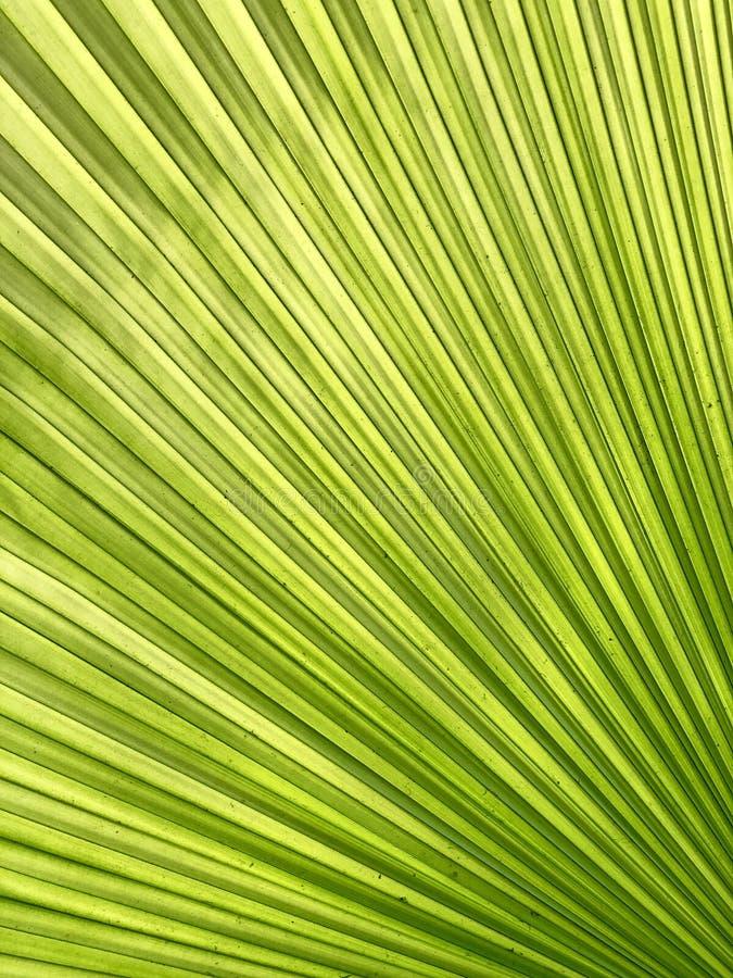 Backlit spód fan palmowy liść fotografia stock