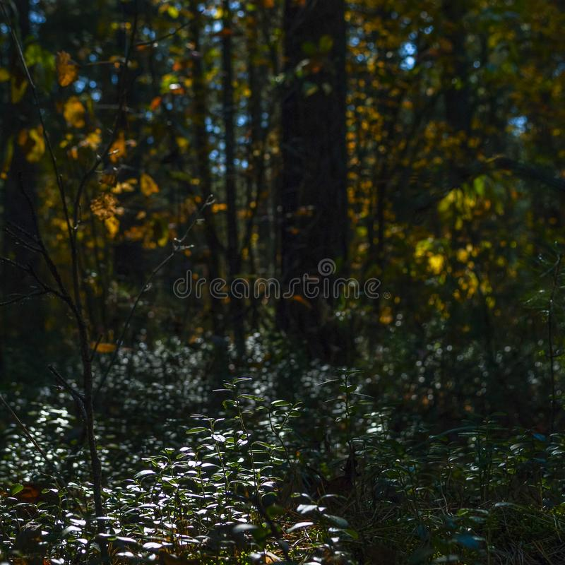 Backlit Struiken van Lingonberry, Vossebes of Vaccinium vitis-Idaea in de Middag Forest Autumn Colors, Verandering van Seizoenenc stock afbeelding