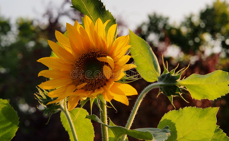 Backlit Sunflower in elementary school garden stock photography