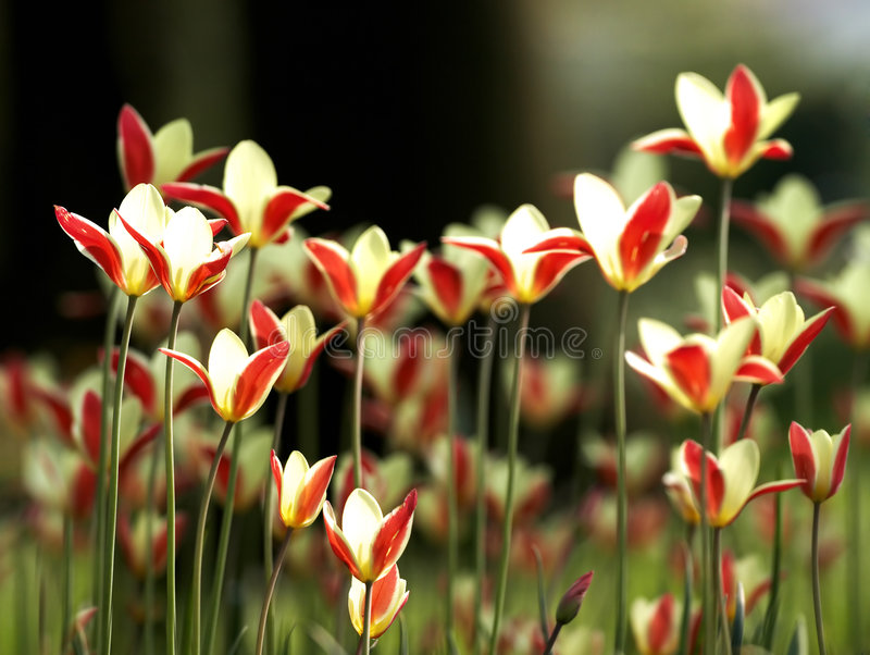Download Backlit tulips stock photo. Image of back, flowers, backlighting - 4167066