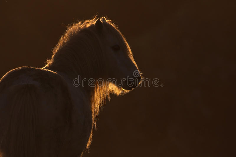 Backlit Wild Welsh Pony Royalty Free Stock Photos