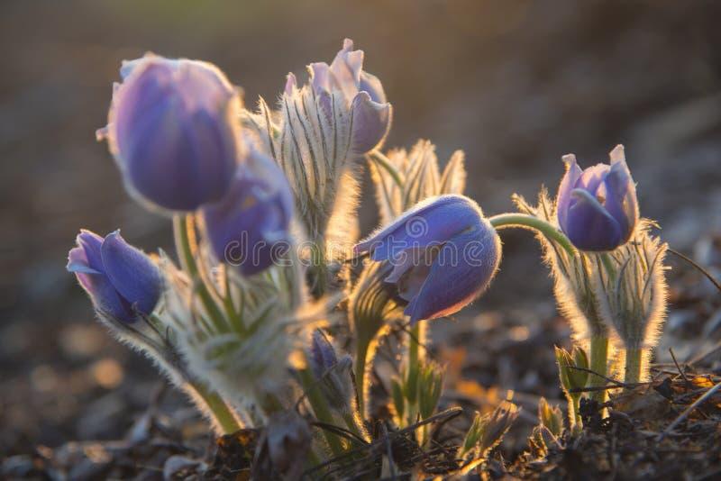 Backlit Wschodni pasqueflower zdjęcie royalty free