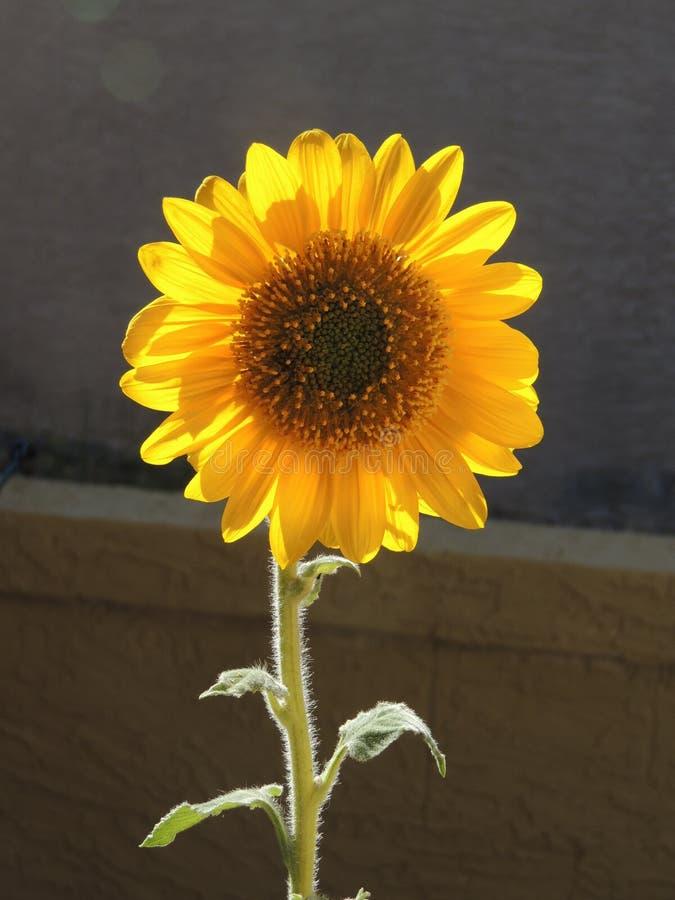 Backlit zonnebloem stock afbeelding
