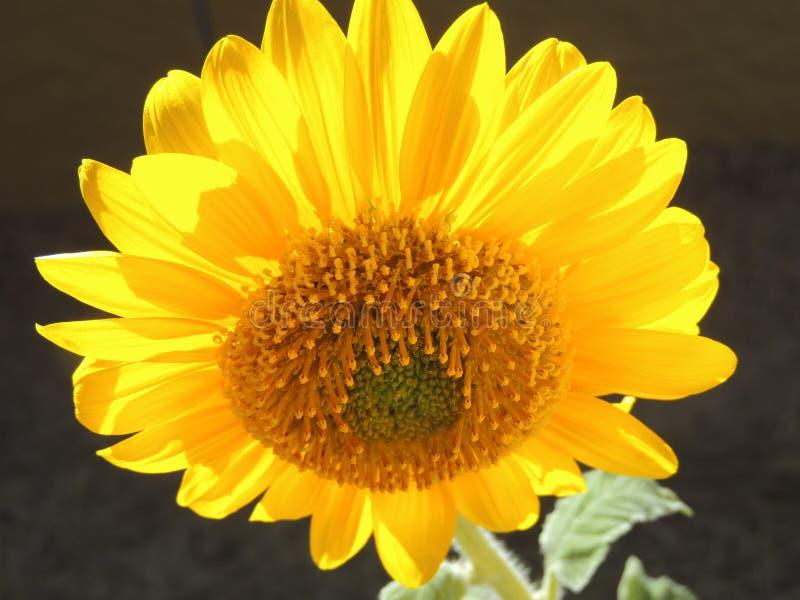 Backlit zonnebloem stock afbeeldingen