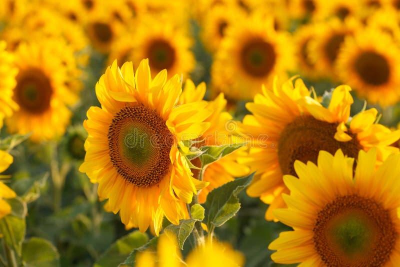 Backlit zonnebloemgebied, royalty-vrije stock fotografie