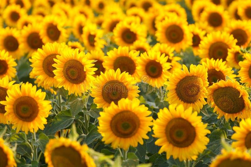 Backlit zonnebloemgebied, royalty-vrije stock foto