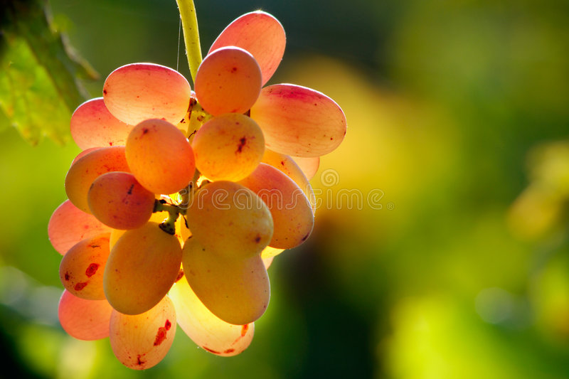 Backlited grapes royalty free stock image