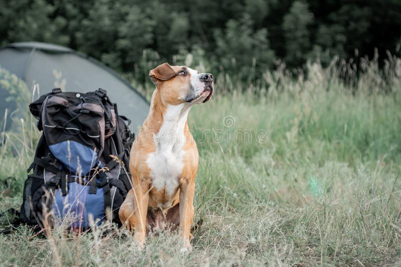 Backpack hiking with a dog: staffordshire terrier sits next to a tourist backpack at a camping site. stock images