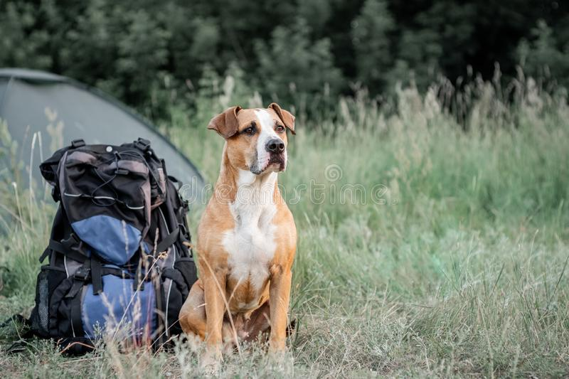 Backpack hiking with a dog: staffordshire terrier sits next to a tourist backpack at a camping site. stock photography