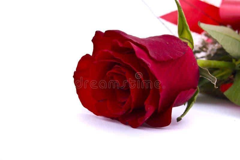 backround红色玫瑰唯一白色 库存图片