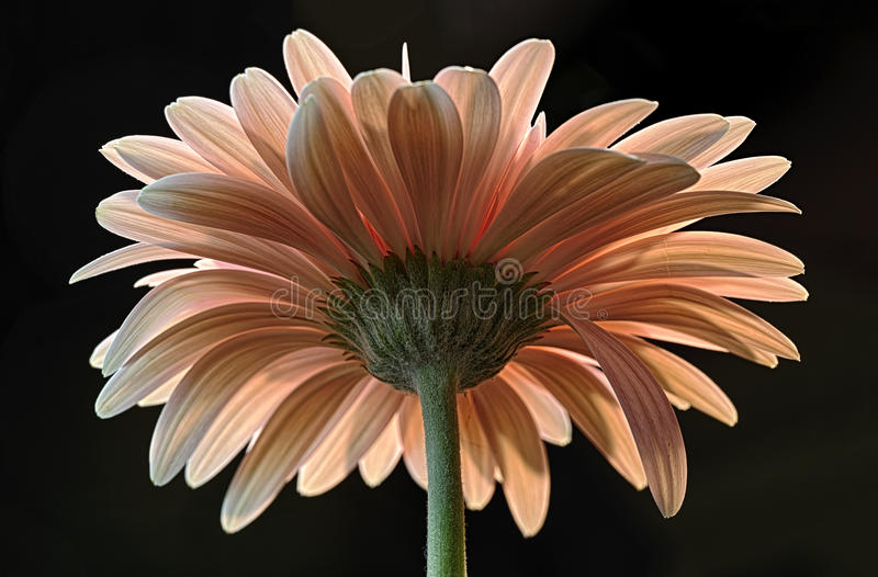 Download Backside of Flower stock photo. Image of petals, green - 27875806