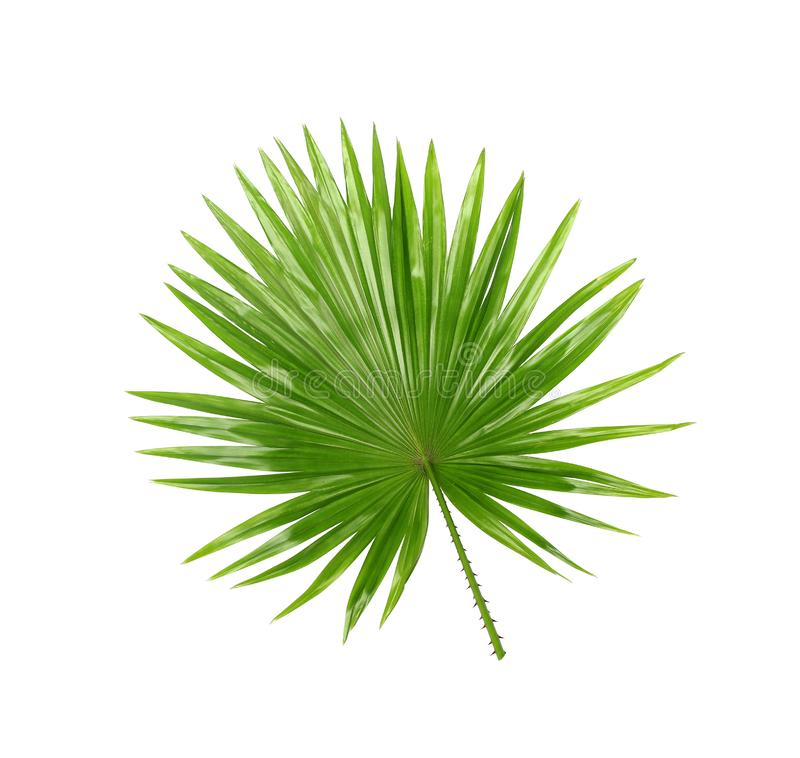 Backside ; Green leaves of palm tree isolated on white royalty free stock photography