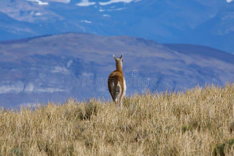 Guanaco Patagonia royalty free stock images