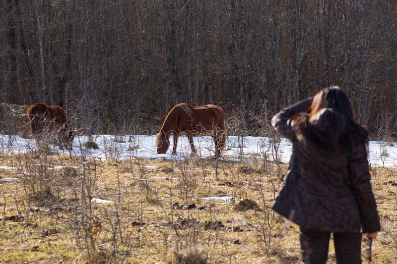 Backside view young brunette woman looks at wild horses that graze in clearing with snow in mountains near forest. On background of thickets stock image