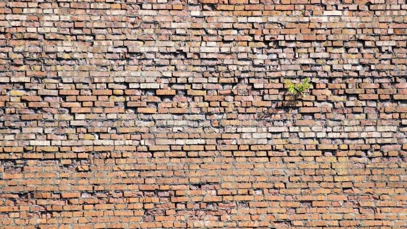 Backsteinmauer, auf der der Baum wächst lizenzfreie stockbilder
