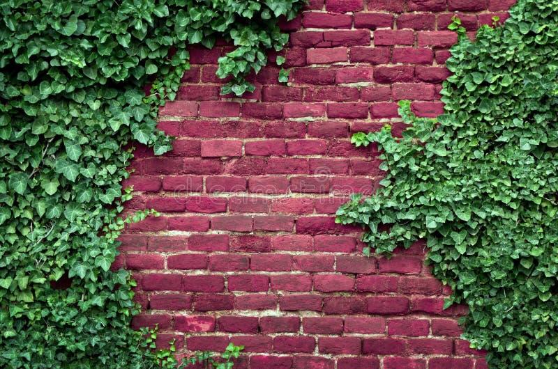 Backsteinmauer, Efeu stockfoto