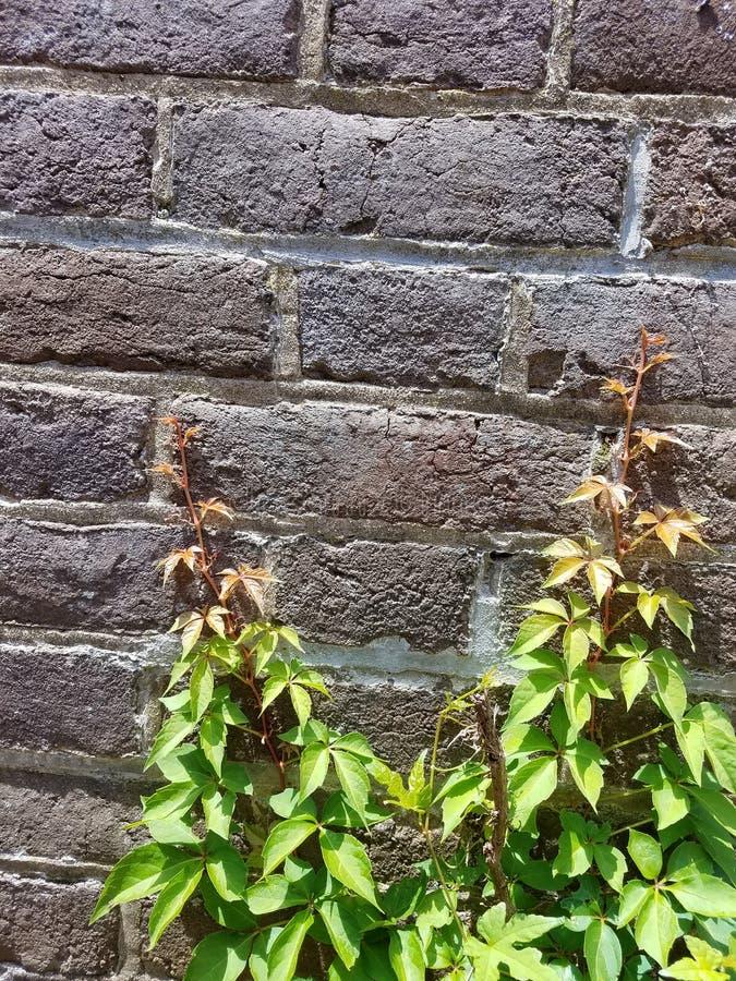 Backsteinmauer mit Betriebswachsendem nahem es stockfotografie