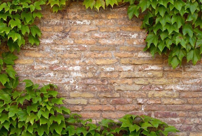 Backsteinmauer mit dem Exemplarplatz gestaltet durch Efeu lizenzfreie stockfotos