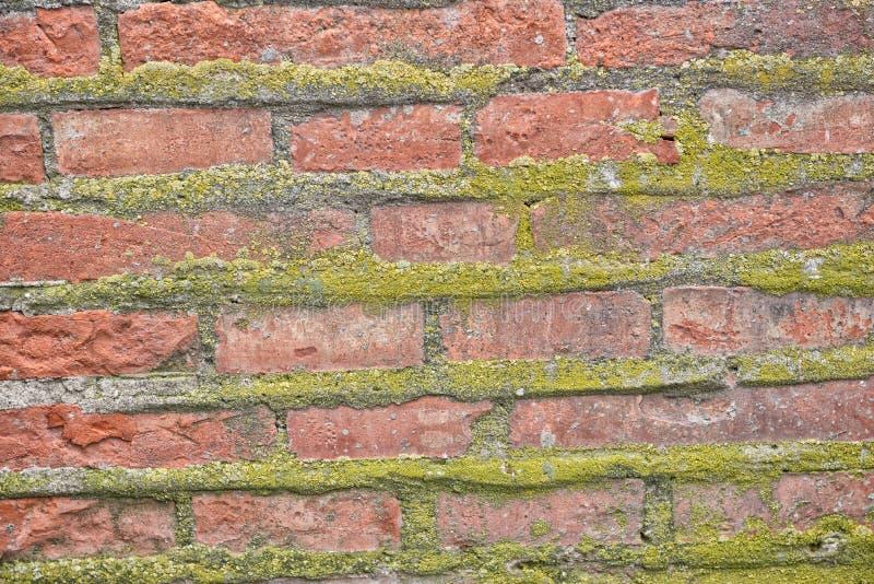 Backsteinmauer mit dem Moos, das aus ihm, Beschaffenheit heraus wächst lizenzfreie stockbilder