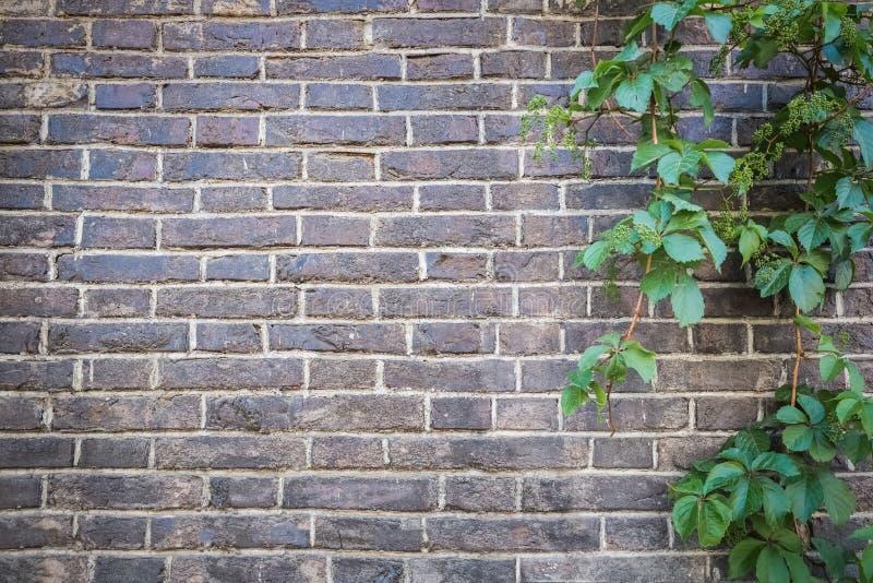 Backsteinmauer mit grünem Efeu stockfoto