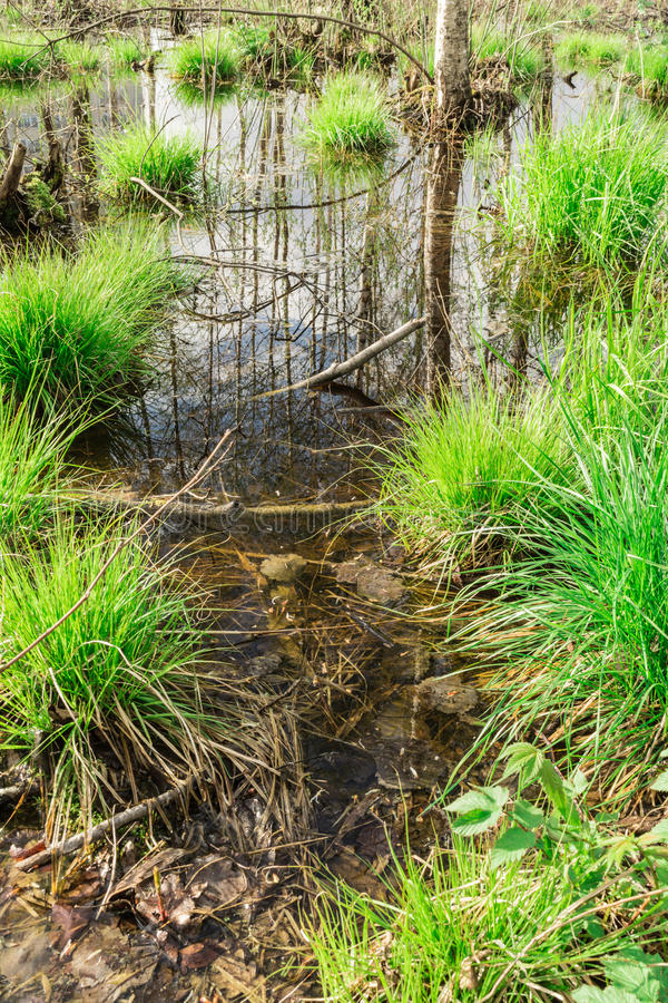 backwater in the forest, In the water the blue sky and tree trunks are reflected, on bunches grows the first spring grass stock photos