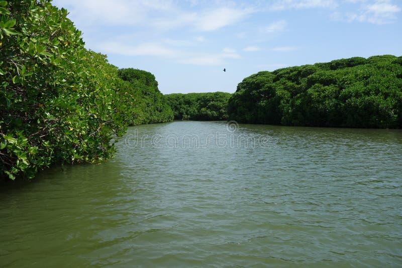 Backwater Mangrove Canals Sri Lanka stock image