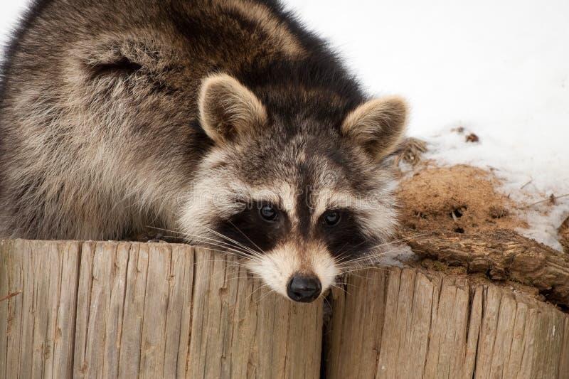 Download Backyard Bandit stock illustration. Illustration of wildlife - 13523913
