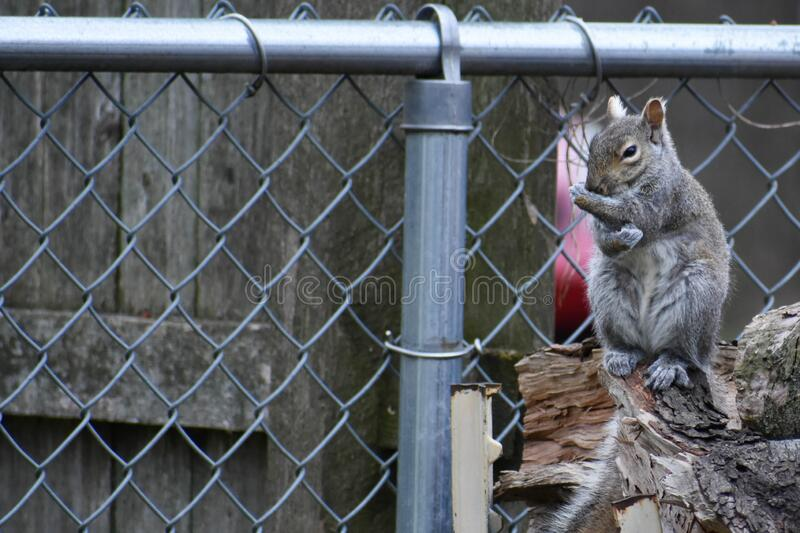 Backyard Squirrel On Woodpile by Fence stock photos