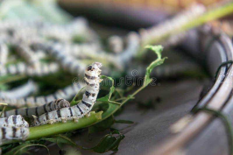 baco da seta che mangia la foglia del gelso & x28; worm& di seta x29 del fuoco; larve del verme immagini stock