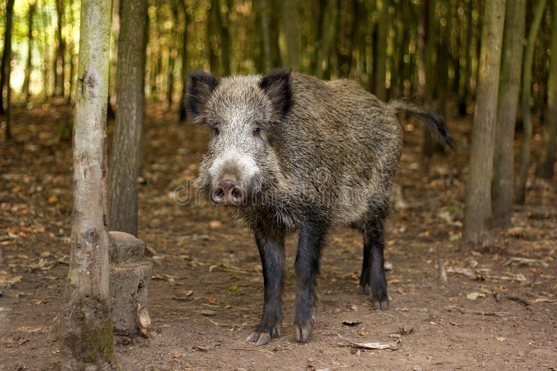 Download Baconer 1 stock image. Image of animals, baconer, tusks - 7830249