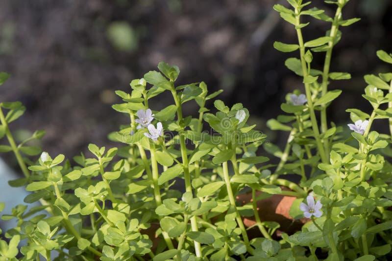 Bacopa monnieri,苦涩叶子,水海索草, Brahmi,麝香草有叶的gratiola,水海索草,树 库存图片