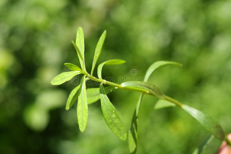 Bacopa monnieri ,Bitter Leaf,. Waterhyssop, Brahmi,-A traditional Ayurvedic medicine as a memory enhancer,Selective focus image royalty free stock image
