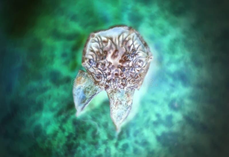 Bactérias ou pilhas sob um microscópio Multiplicação das bactérias ou da infecção Bactérias dos micróbios pilhas de ataque - imag fotos de stock royalty free