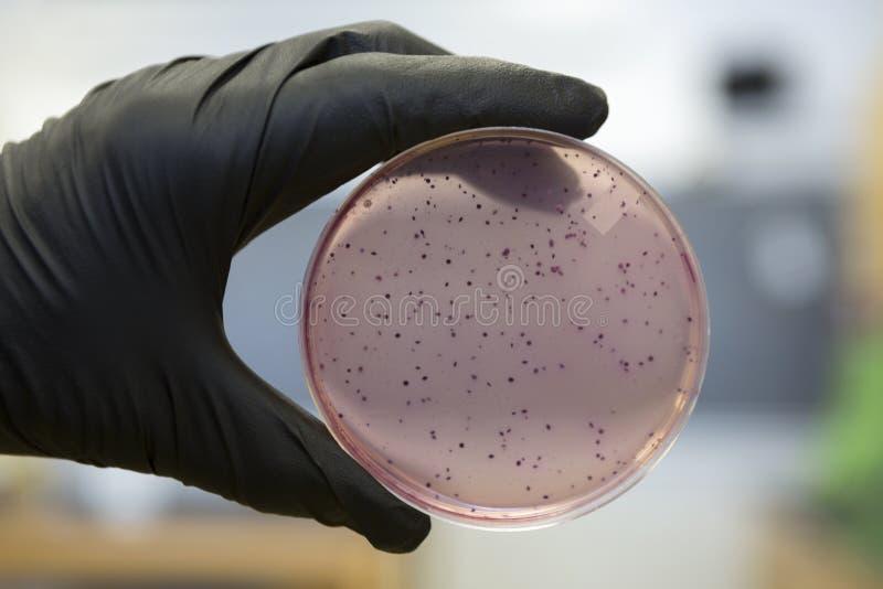 Bactérias que crescem em uma placa do peri fotografia de stock royalty free