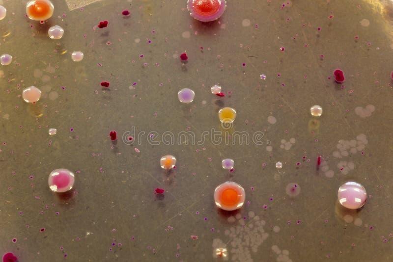Bactérias que crescem em uma placa do peri fotos de stock