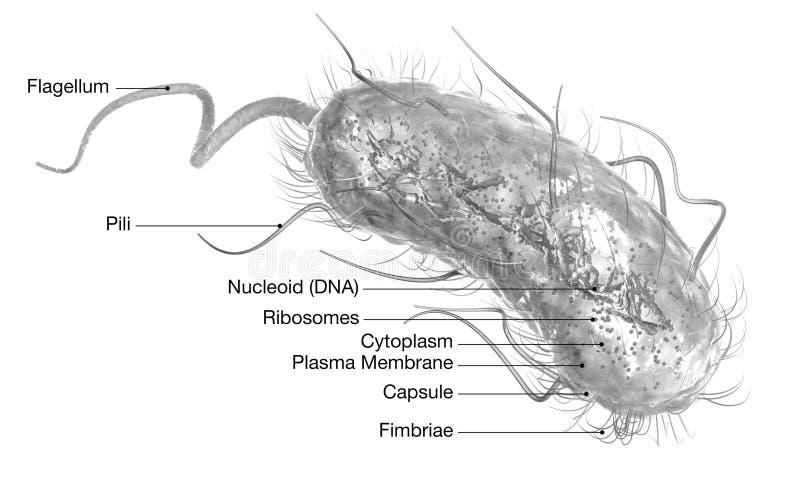 Bactéries E d'Escherichia coli coli Illustration médicalement précise 3D, marquée illustration stock