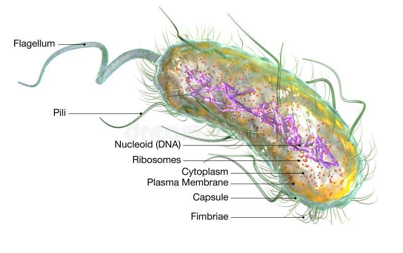 Bactéries E d'Escherichia coli coli Illustration médicalement précise 3D, marquée illustration libre de droits
