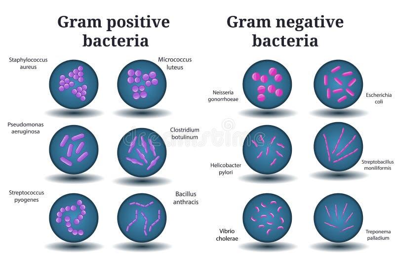Bactéries grampositives et gramnégatives Coque, bacille, bactéries incurvées dans la boîte de Pétri illustration stock