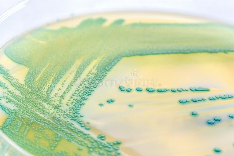 Bacteriën in een petrischaal royalty-vrije stock afbeeldingen