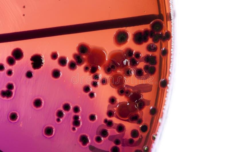 Bacteria on petri dish royalty free stock photos