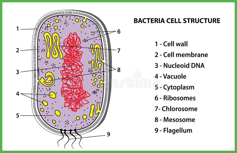 Bacterial cell structure on white background - vector illustration. royalty free stock photography