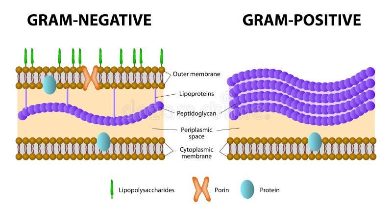Bacterias grampositivas y gramnegativas stock de ilustración