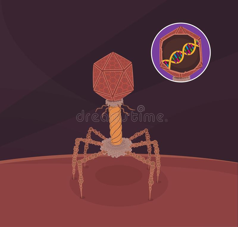 Bacteriophage virus. Representation of the structure of Bacteriophage Virus adherent to the host bacterial cell, with detail of the inside of the head where the royalty free illustration