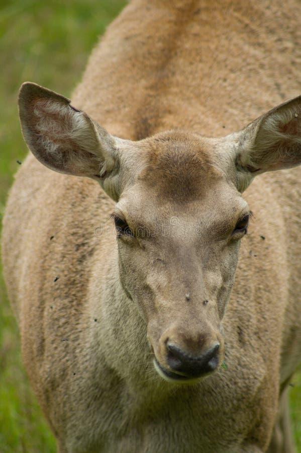 Bactrian鹿 免版税库存照片