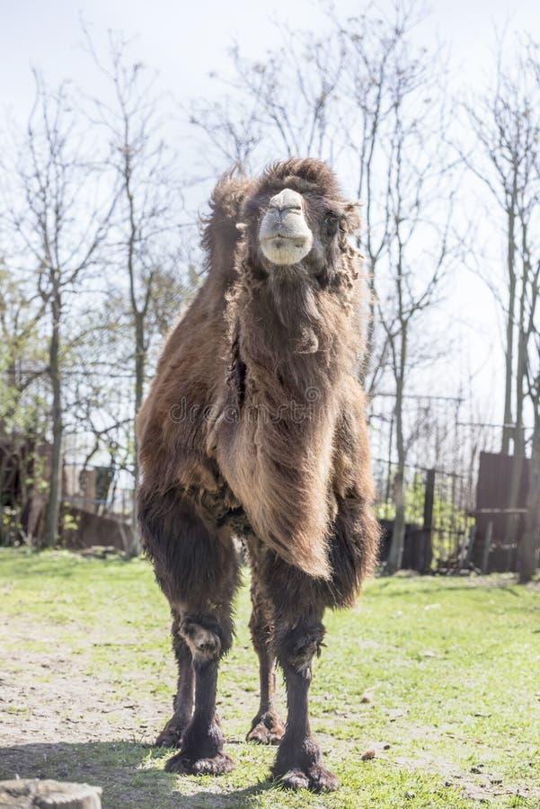 Bactrian верблюды на ферме весны стоковая фотография rf