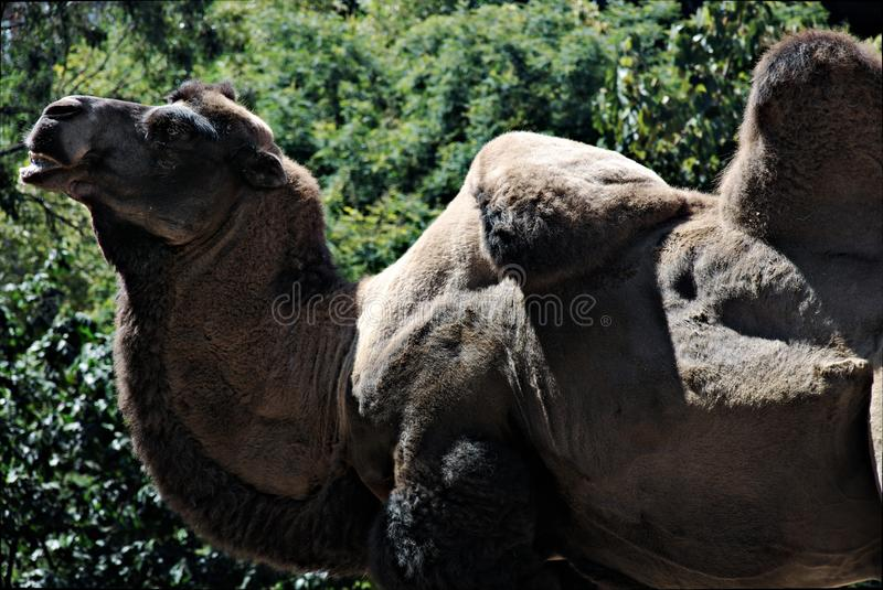 Download Bactrian Camel stock image. Image of wildlife, hump, nature - 20780841