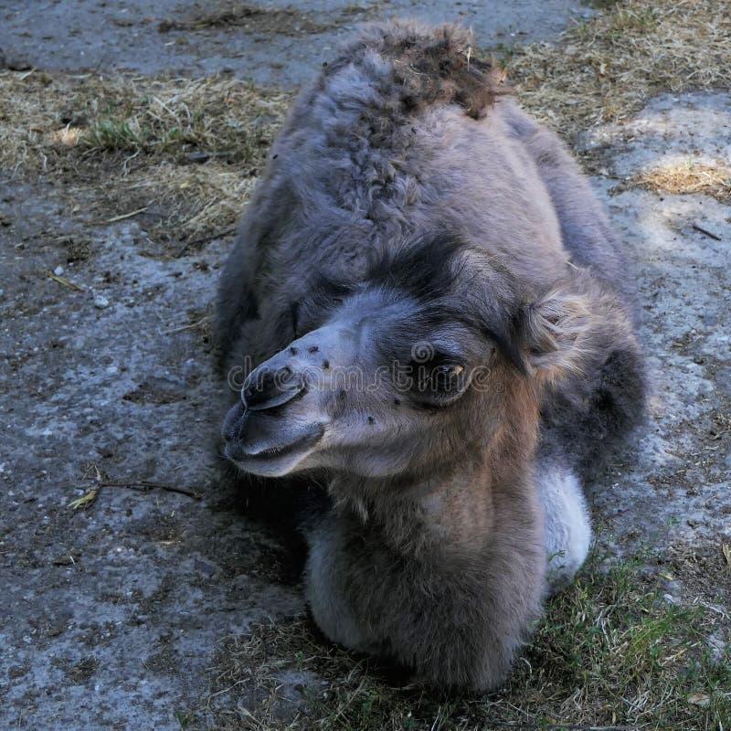 Bactrian camel calf stock images