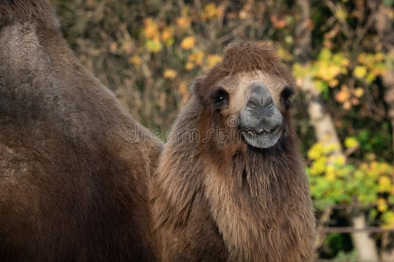 Bactrian camel Camelus bactrianus. Domesticated animal stock images